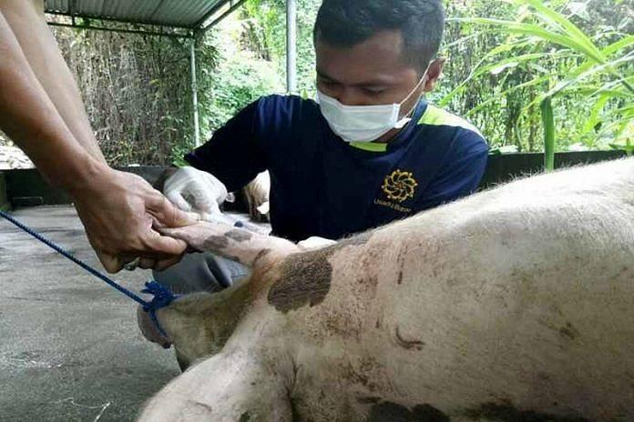 Foto Babi Di Potong Tradisi Mepatung Kedonganan Siapkan 110 Ekor Babi Balipost Com