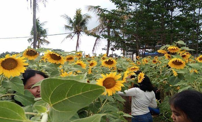 Lahan Kurang Produktif Diubah Jadi Taman Bunga Matahari