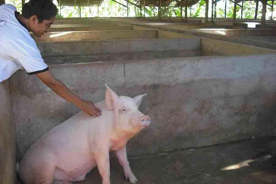 Foto Babi Di Potong Buleleng Surplus Babi Potong Balipost Com