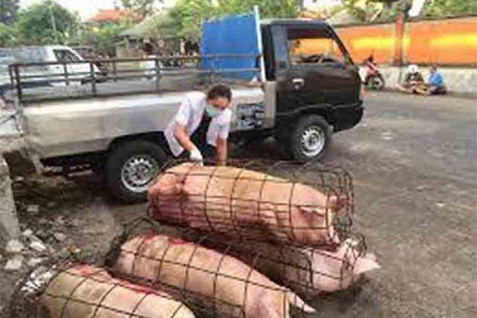 Foto Babi Di Potong Pemotongan Babi Di Rph Denpasar Diprediksi Meningkat 200 Persen Balipost Com