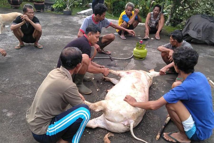 Foto Babi Di Potong Pantau Pemotongan Babi Tim Kesmavet Sebut Semua Aman Dikonsumsi Balipost Com